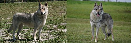 petits des loups